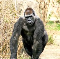 Ape-Evolution